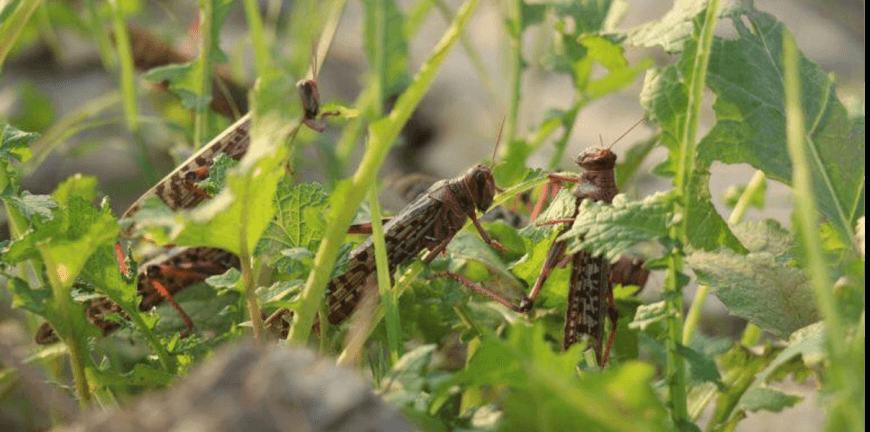 2020 バッタ 大量 発生 (2ページ目)【最新】バッタの大量発生、勢い増し「新たな大群」も確認される! アフリカでは猛毒の農薬ばら撒き…世界滅亡の恐れートカナ